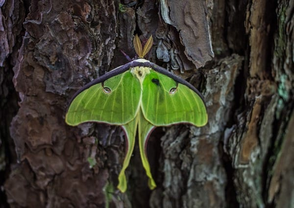 180430 Luna Moth IMG_6768 s
