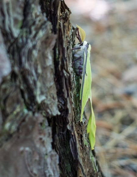 180430 Luna Moth IMG_6783 s