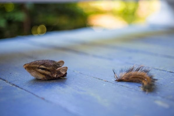 Swimming-Through-Life-Chipmunk-IMG_0793