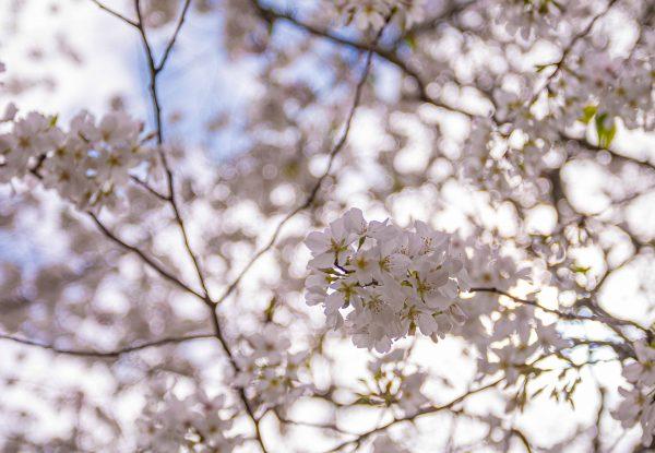 200321 blossoms on a quarantine walk 2M7A6233s