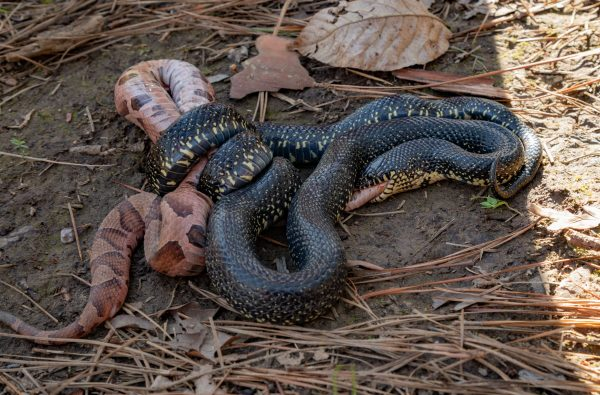 200325 King Snake Eating a Copperhead 2M7A6468