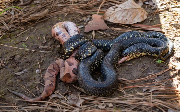 200325 King Snake Eating a Copperhead 2M7A6475
